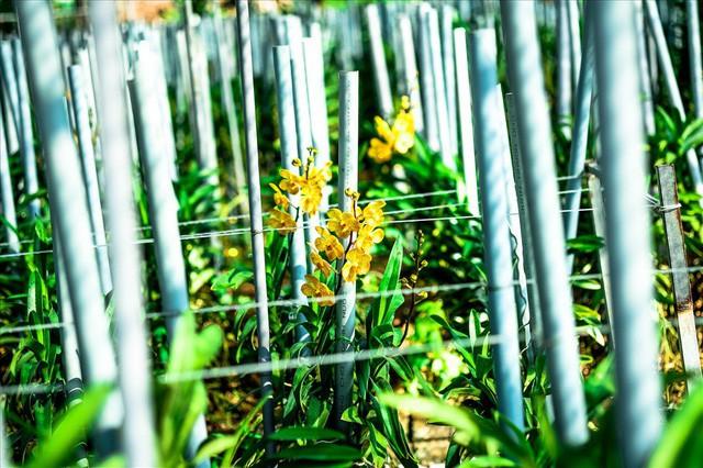 Ngắm vườn lan mokara lãi 2 tỉ đồng/năm của nam thanh niên Đà Nẵng  - Ảnh 2.