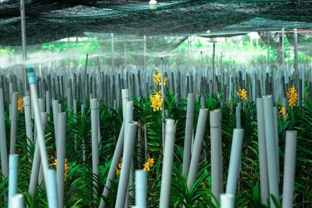 Ngắm vườn lan mokara lãi 2 tỉ đồng/năm của nam thanh niên Đà Nẵng  - Ảnh 11.