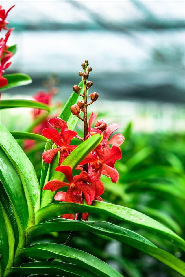 Ngắm vườn lan mokara lãi 2 tỉ đồng/năm của nam thanh niên Đà Nẵng  - Ảnh 16.
