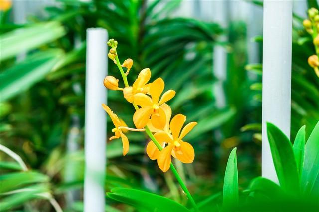 Ngắm vườn lan mokara lãi 2 tỉ đồng/năm của nam thanh niên Đà Nẵng  - Ảnh 4.