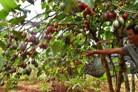 """Ào ạt trồng cà chua lạ """"giá triệu đồng/kg, nông dân """"lĩnh đủ"""" - Ảnh 1."""