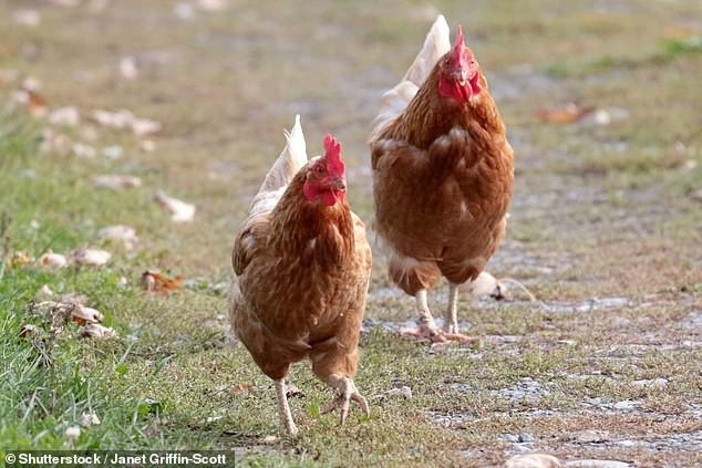 Bi hài kịch: Hàng triệu năm nữa, người đời sau sẽ hiểu rằng Trái đất đang bị thống trị bởi... loài gà - Ảnh 1.
