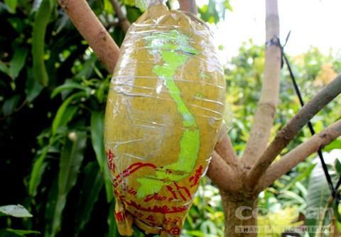 Trái cây độc bán Tết giá bạc triệu mỗi cặp - Ảnh 19.