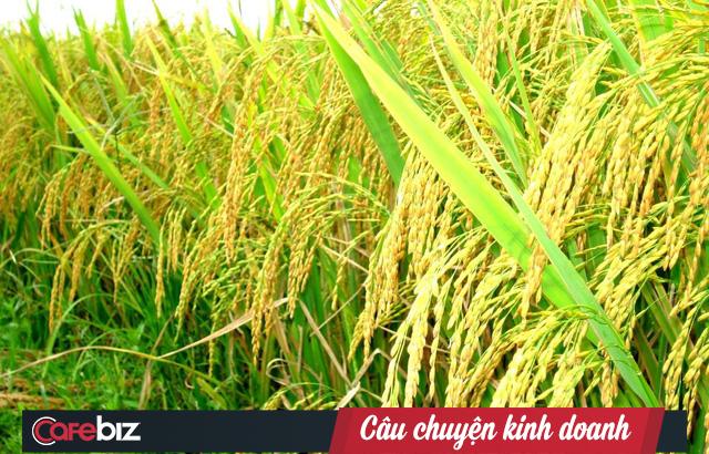 Người tạo ra giống lúa ngon top 3 địa cầu Hồ Quang Cua: Chúng tôi là những người mở đường - Ảnh 1.