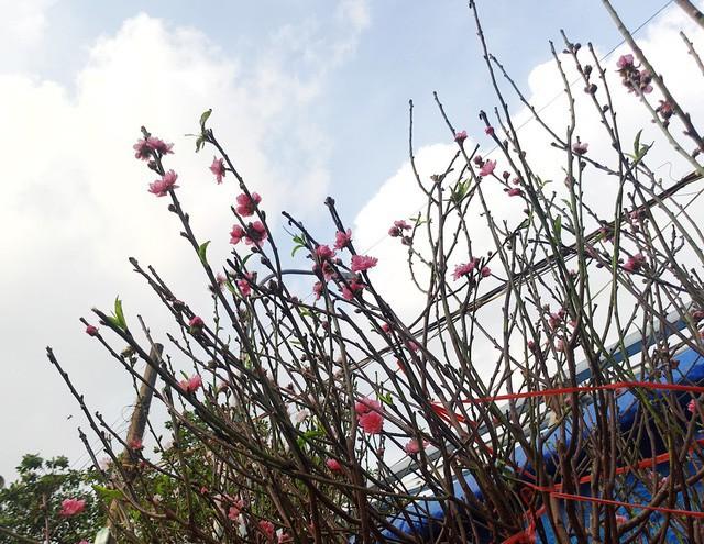Chuyện lạ: Hoa đào bất ngờ bung nở rầm rộ, giá 200.000 đồng/cành - Ảnh 3.