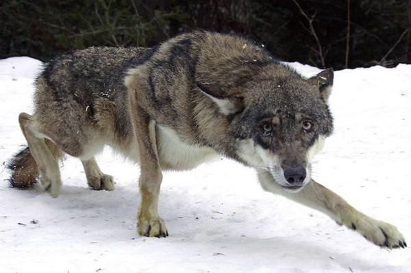 Thấy con sói bị thương, ra tay làm một việc, người đàn ông không ngờ điều tồi tệ ập đến - Ảnh 1.