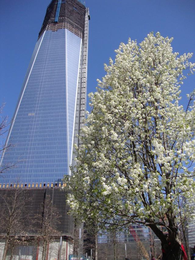 Cây lê báu vật của nước Mỹ: câu chuyện cổ tích thời hiện đại sau thảm họa 11/9  - Ảnh 4.