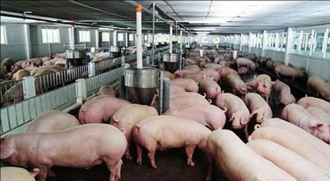 Lợn hơi tăng giá vùn vụt, dân mừng, Bộ lo - Ảnh 1.