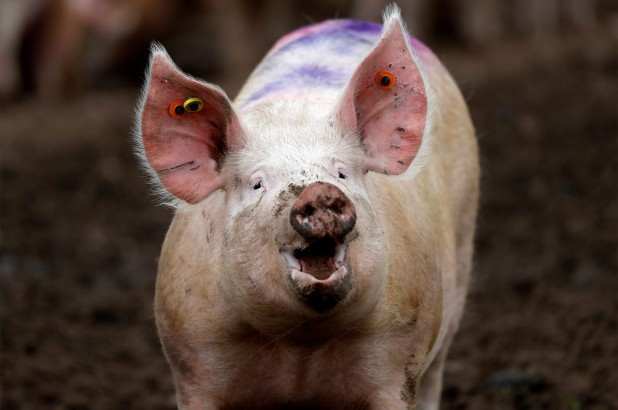 Giữ não bộ lợn sống trong khi cơ thể đã bị đem giết thịt: Thí nghiệm khiến chúng ta phải định nghĩa lại cái chết - Ảnh 1.