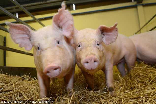 Con lợn này chỉ có 99,9999991% là gene của nó và đang gánh vác tương lai nhân loại trên vai - Ảnh 1.