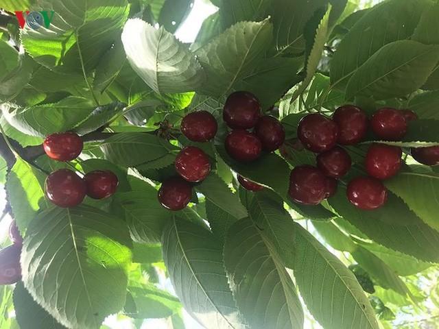 Trái cây ngoại siêu đắt tại Việt Nam là cây dại ở nước ngoài? - Ảnh 12.