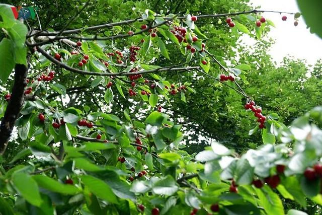 Trái cây ngoại siêu đắt tại Việt Nam là cây dại ở nước ngoài? - Ảnh 5.