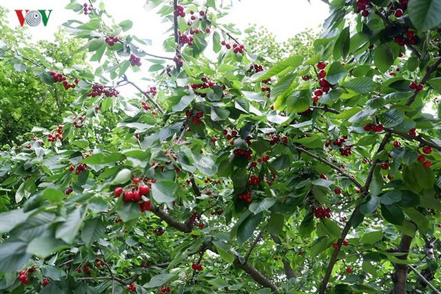 Trái cây ngoại siêu đắt tại Việt Nam là cây dại ở nước ngoài? - Ảnh 9.