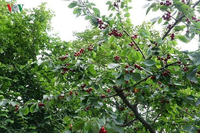 Trái cây ngoại siêu đắt tại Việt Nam là cây dại ở nước ngoài? - Ảnh 10.