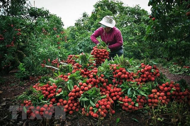 Hình ảnh vải thiều Lục Ngạn chín đỏ trong mùa thu hoạch  - Ảnh 1.