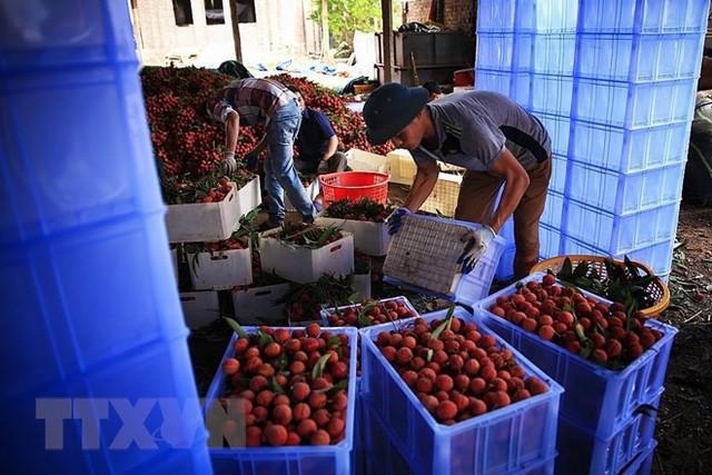 Hình ảnh vải thiều Lục Ngạn chín đỏ trong mùa thu hoạch  - Ảnh 2.