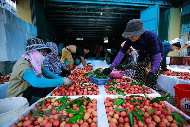 Hình ảnh vải thiều Lục Ngạn chín đỏ trong mùa thu hoạch  - Ảnh 14.