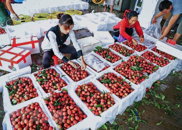 Hình ảnh vải thiều Lục Ngạn chín đỏ trong mùa thu hoạch  - Ảnh 6.