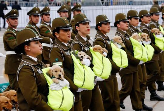 Chó nghiệp vụ gây sốt tại lễ diễu binh Chile vì…quá dễ thương - Ảnh 1.