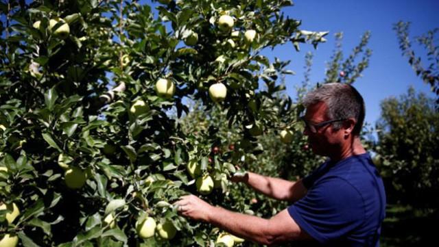 Nông dân trồng táo Mỹ lo bị Trung Quốc trả đũa - Ảnh 1.