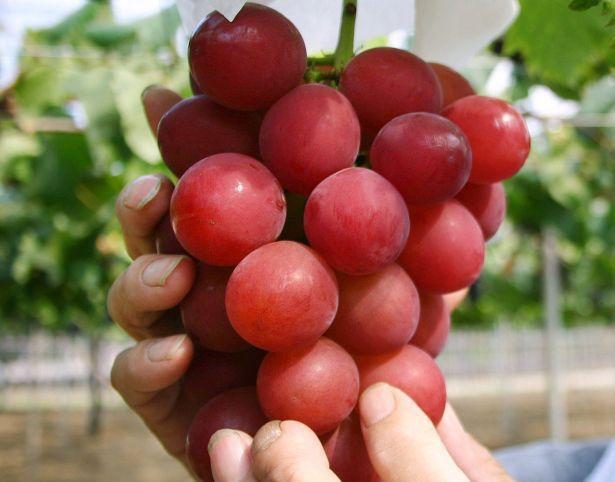 Vì sao 1 số loại trái cây Nhật Bản có mức giá siêu đắt? - Ảnh 1.