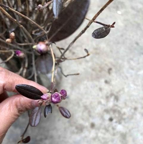 Xuất hiện loài hoa mới đỗ quyên ngủ đông khiến chợ hoa Tết lên cơn sốt - Ảnh 3.