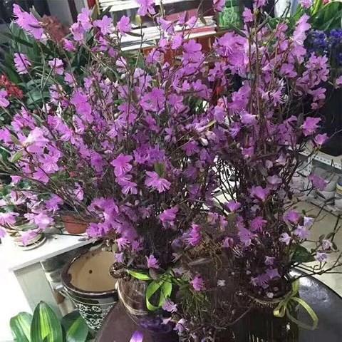 Xuất hiện loài hoa mới đỗ quyên ngủ đông khiến chợ hoa Tết lên cơn sốt - Ảnh 5.