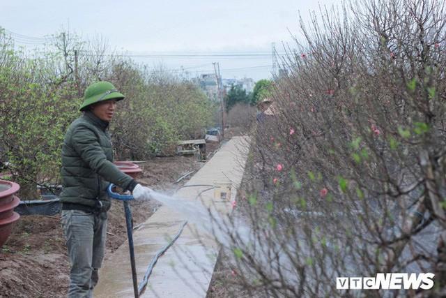 Dân làng Nhật Tân xây phòng riêng, lắp điều hòa cho đào bung nở đúng dịp Tết Nguyên đán  - Ảnh 1.