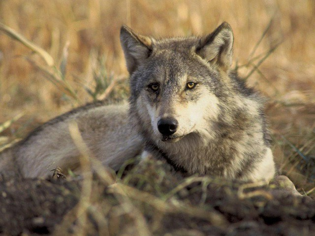 Nhịp sinh học của bạn thuộc nhóm gấu, sư tử, sói hay cá heo? Biết được câu trả lời sẽ giúp hiệu quả lao động tăng đáng ngạc nhiên  - Ảnh 3.