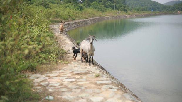 Trâu đằm suối, bò, dê uống nước kênh dẫn vào nhà máy nước sạch sông Đà - Ảnh 4.