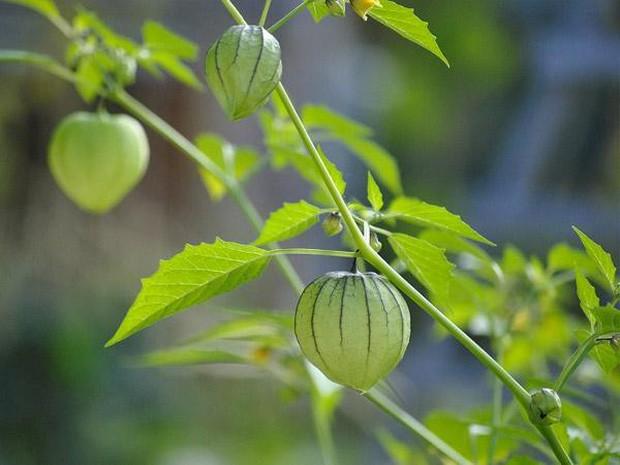 """Một loại quả mọc dại ở Việt Nam nhưng lại được bày bán """"sang chảnh"""" ở siêu thị nước ngoài, vài nơi còn không có đủ cho khách mua - Ảnh 1."""