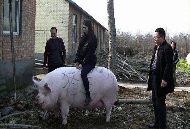 Thiếu thịt, Trung Quốc quyết định nhân giống lợn khổng lồ, to bằng gấu Bắc cực  - Ảnh 1.