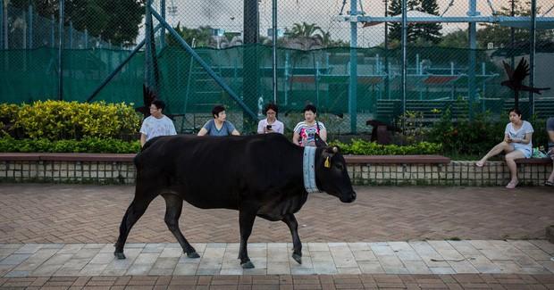 Băng đảng bốn con bò hung hăng cướp sạch rau củ trong siêu thị Hong Kong ngay giữa thanh thiên bạch nhật - Ảnh 3.
