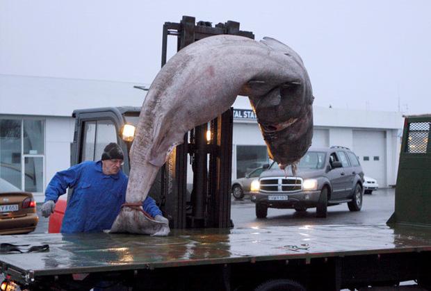 Photo of Iceland có món cá mập thối kinh dị đến mức khiến Gordon Ramsay nôn mửa ngay khi vừa nếm, nhưng nhiều người vẫn thích mê – FoodTV