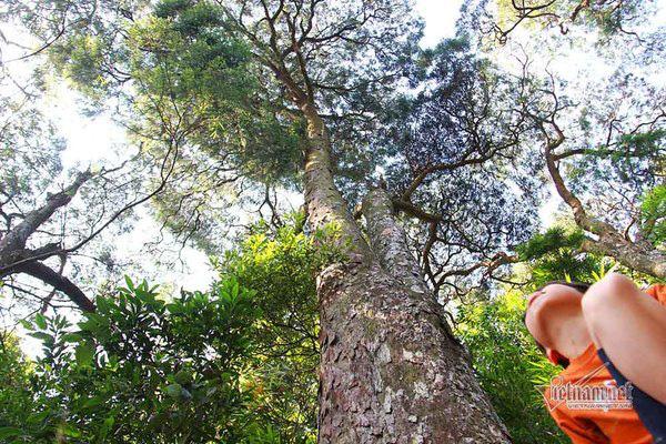 Hàng cây xích tùng 700 tuổi quý hiếm trên đỉnh thiêng Yên Tử - Ảnh 1.