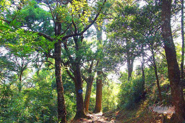 Hàng cây xích tùng 700 tuổi quý hiếm trên đỉnh thiêng Yên Tử - Ảnh 3.