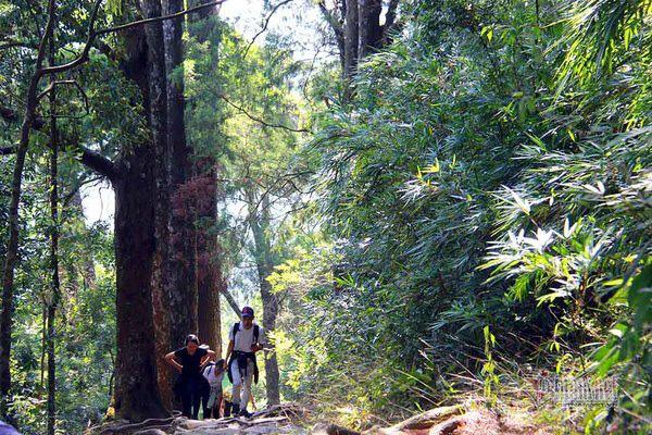 Hàng cây xích tùng 700 tuổi quý hiếm trên đỉnh thiêng Yên Tử - Ảnh 4.