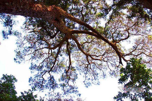 Hàng cây xích tùng 700 tuổi quý hiếm trên đỉnh thiêng Yên Tử - Ảnh 6.