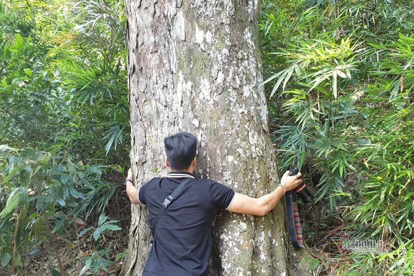 Hàng cây xích tùng 700 tuổi quý hiếm trên đỉnh thiêng Yên Tử - Ảnh 7.