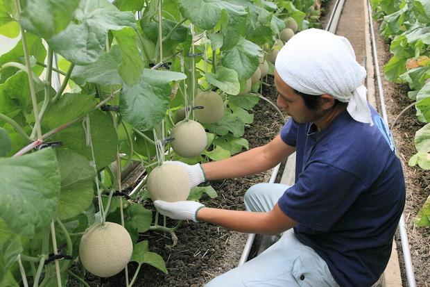 Câu chuyện đằng sau những trái dưa tiền tỉ của Nhật Bản: Căn nguyên từ tình yêu bất diệt của người trồng cây - Ảnh 10.