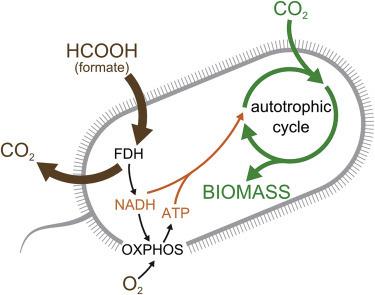 Các nhà khoa học tạo ra một chủng vi khuẩn E. coli có thể ăn khí CO2 để sống - Ảnh 2.