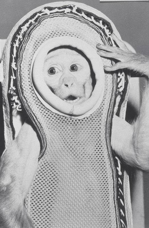 Kỳ thú chuyện con khỉ bay lên vũ trụ, ngày trở về, nó còn làm loạn cả một khu trục hạm của Mỹ - Ảnh 1.