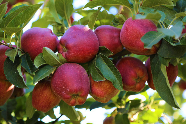 Điều kỳ diệu gì sẽ xảy ra khi ăn 2 trái táo/ngày: Những tác dụng khiến chị em tiếc hùi hụi vì không biết sớm hơn - Ảnh 3.