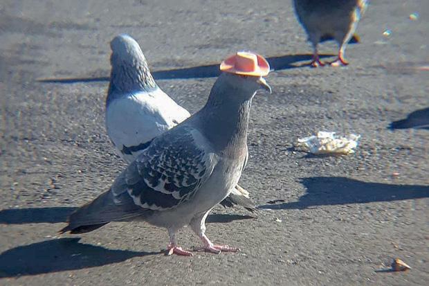 Sự thật đau lòng đằng sau những con chim bồ câu đội mũ siêu dễ thương từng gây sốt mạng xã hội: Hóa ra chẳng có gì đáng cười ở đây cả - Ảnh 1.