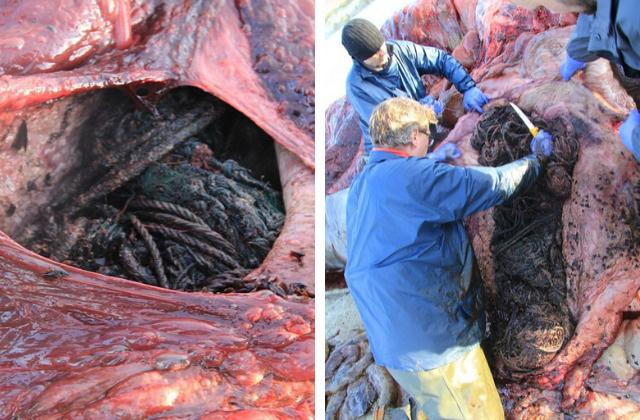 Con cá voi chết bên bờ biển Scotland với 100 kg rác thải trong bụng - Ảnh 1.