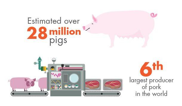 Năm Kỷ Hợi nói chuyện lợn: Mỗi năm có bao nhiêu chú heo bị thịt? - Ảnh 3.