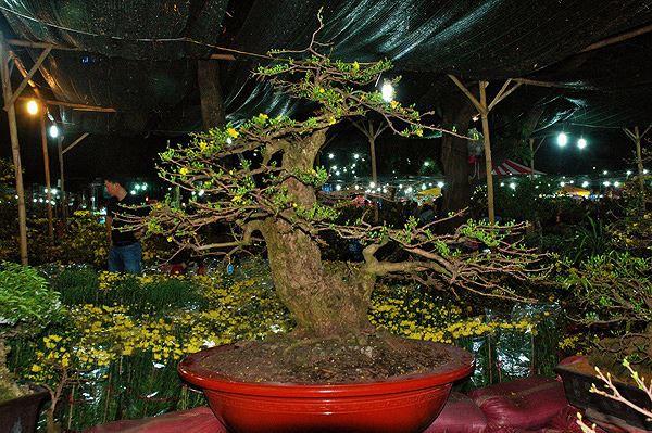 Sững sờ trước những cây mai tiền tỷ tại chợ hoa đêm - Ảnh 4.
