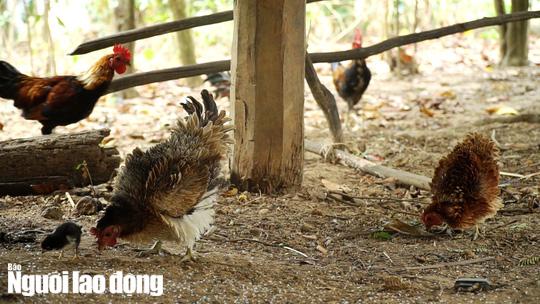 Kỳ lạ giống gà lông ngược, chỉ nuôi chứ không bán  - Ảnh 4.