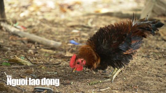 Kỳ lạ giống gà lông ngược, chỉ nuôi chứ không bán  - Ảnh 5.