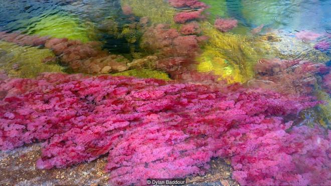 """caño cristales - photo 1 15539460499291598665016 - Đây là con sông đẹp nhất thế giới: Lung linh 5 màu sắc, được mệnh danh là """"cầu vồng sống"""" vi diệu nhất"""